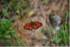 Πεταλούδα Melitaea didyma