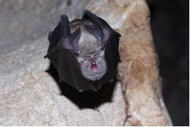 Νυχτερίδα Rhinolophus ferrumequinum